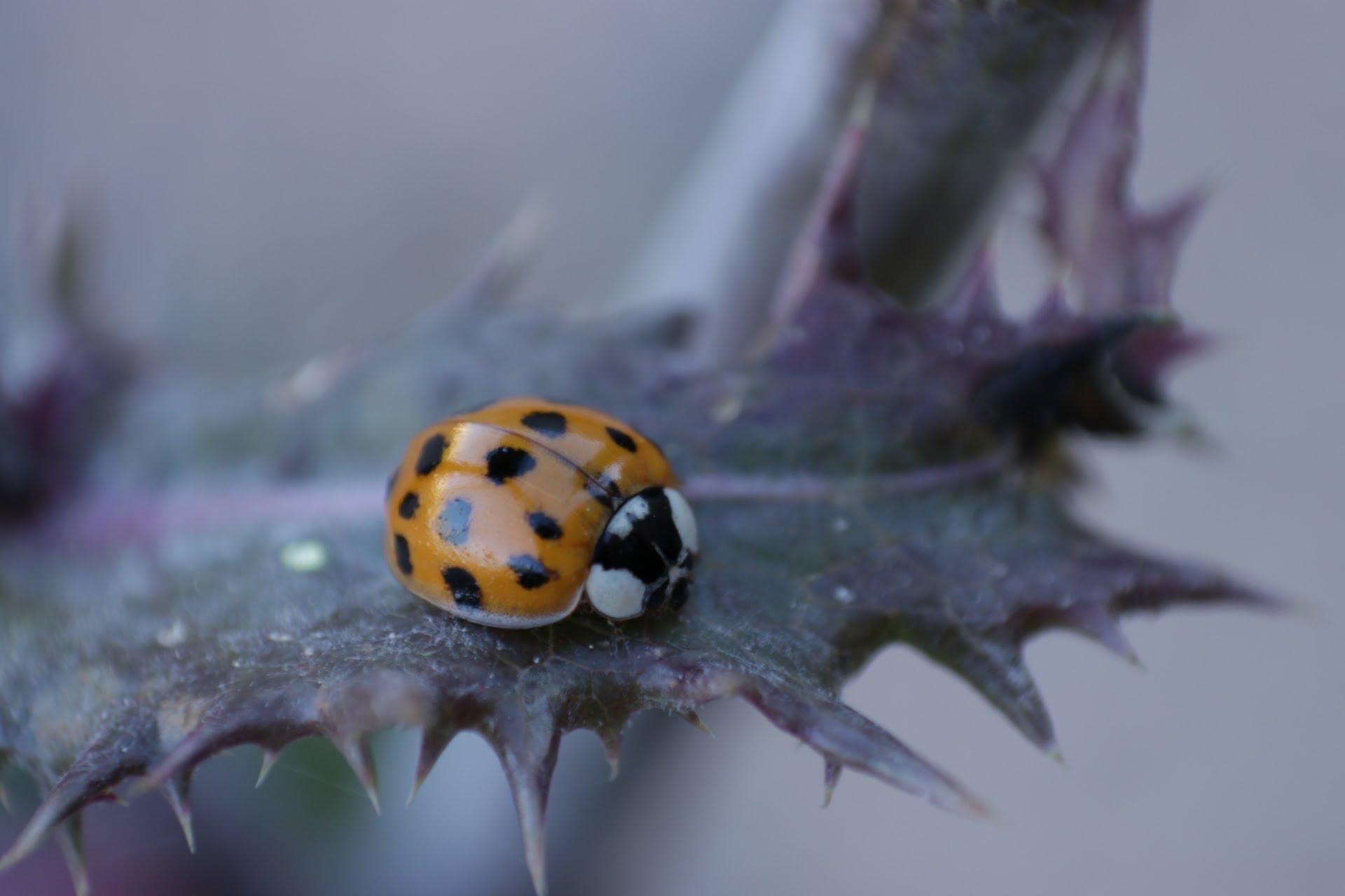 Ladybug on nettle