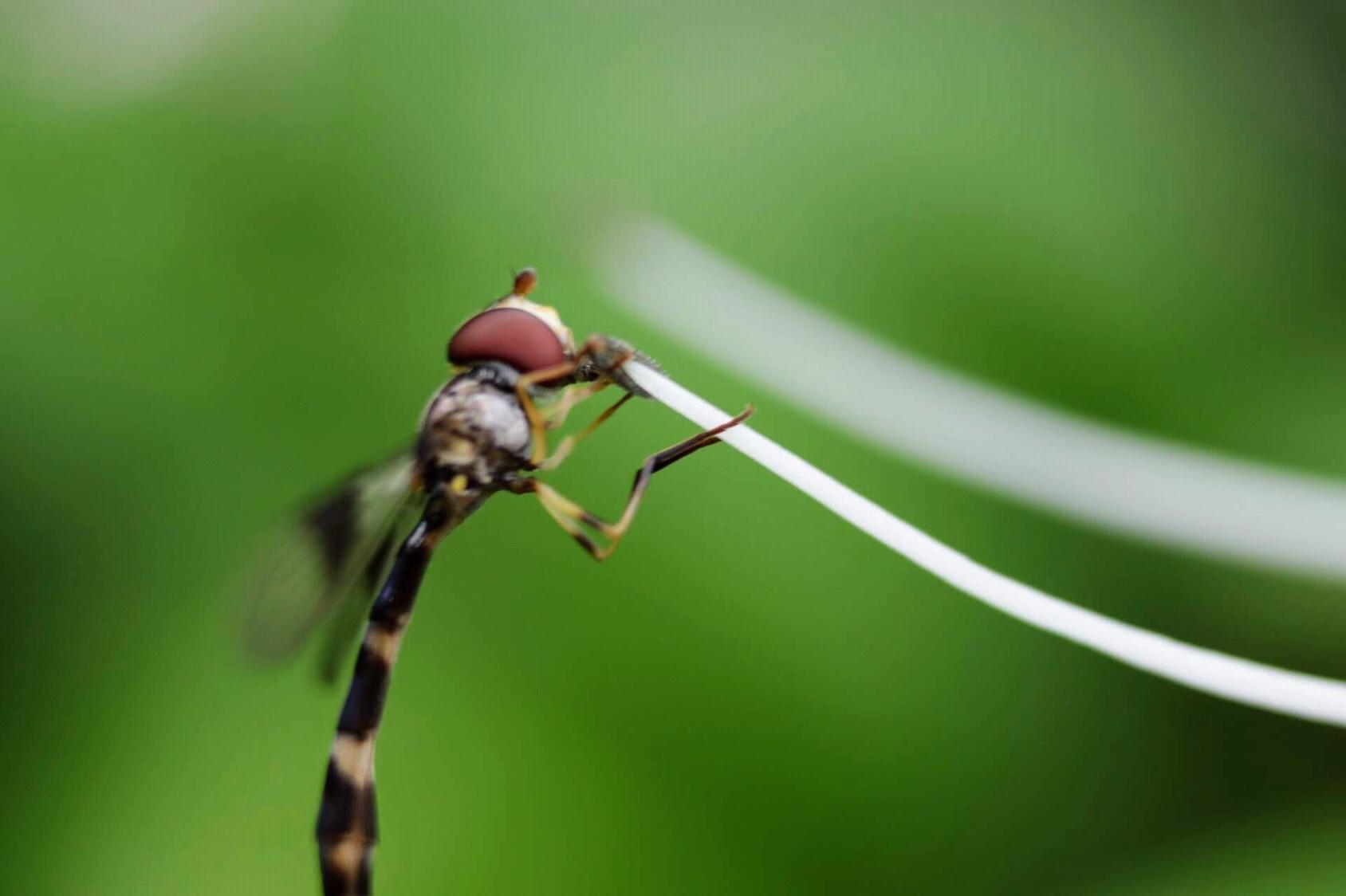 Dragonfly wasp